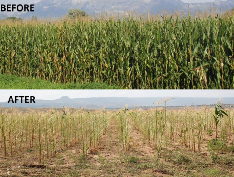 The top photo shows a mature maize field before pests arrive. The bottom photo shows a similar field following an armyworm attack. Pictures: KEN WILSON and FAO LESOTHO