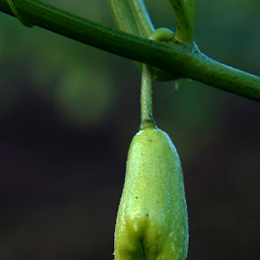 Chayote fruit and drop by Cristobal Garciaferro Rubio - Nature Up Close Other plants ( fruit, drop, drops, bokeh, produce )