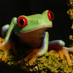 Red eyed stare by Angi Wallace - Animals Amphibians