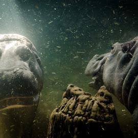 Hippo making love by Vaibhav Jain - Animals Amphibians ( love, hippo, underwater, pair, horse, creatures, sea, animal,  )