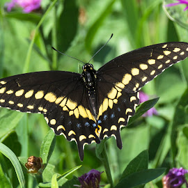 Black Swallowtail Butterfly by Debora Garella - Animals Other