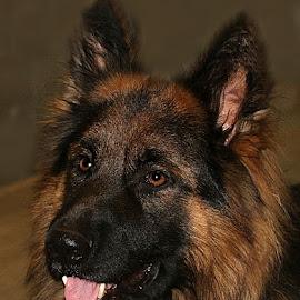 Chance by Chrissie Barrow - Animals - Dogs Portraits ( tongue, pet, male, german shepherd dog, ears, dog, nose, tan, black, portrait, eyes )