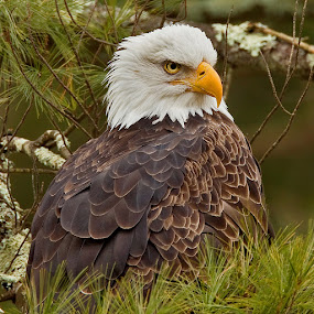 Bald Eagles Have Brown Plumage by Herb Houghton - Animals Birds ( wild, conifer, bird of prey, eagle, bald eagle, raptor, herbhoughton.com, non captive, natural, perch )