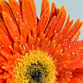 by Siniša Almaši - Flowers Single Flower ( orange, view, drops, depth, color, nature, light, up close, water drops, flower,  )