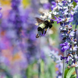 Collecting by Lynn Chendorain - Nature Up Close Gardens & Produce ( hovering, flying, collecting, bumble bee, bee, wings, nectar, buzzing, carpenter bee, lavender, flowers, garden )