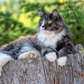 Cat on a Stump by Twin Wranglers Baker - Animals - Cats Portraits ( cat, stump, forest, feline, resting cat )