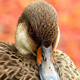 Who you lookin at? by Rebecca Ramaley - Animals Birds ( face, orange, duck, galapagos, close up )
