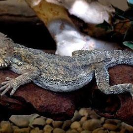 by Bob White - Animals Reptiles ( wild, lizard, zoo, wildlife, amazon,  )