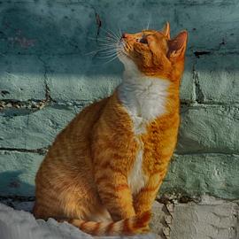 мечты рыжего кота by Марина Колесова - Animals - Cats Portraits ( животное, зима, кот, снег, рыжий, портрет )