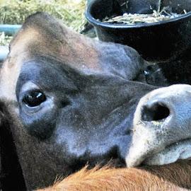Milking It by Roxanne Dean - Animals Other Mammals ( bovine, cow, nostrils, black cow, eyes )
