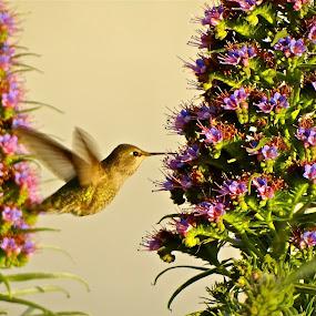 Green Humming Bird by Jeff Steiner - Animals Birds ( russian hill, san francisco )