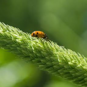 by Rima Biswas - Nature Up Close Leaves & Grasses ( macro, nature, green, ladybug, spring )