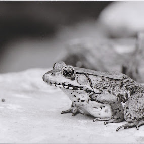 King of the Rock by Mark Lendacky - Animals Amphibians ( nature, frog, amphibian, rock, gray )