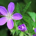 Wood geranium