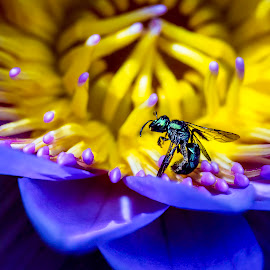 Intoxicated by Beauty  by Liza Rock - Animals Insects & Spiders ( stigma, stamens, purple, petals, bee, drunk, anthers, spring, purple flower, macro, lotus, intoxicated, pollen, nature, lily, wings, summer, metallic, dead, pond, outside, flower, lotus flower, sweat bee )