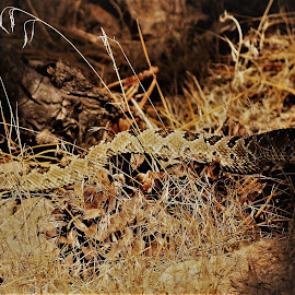 Rattler by Steven Calhoun - Animals Reptiles