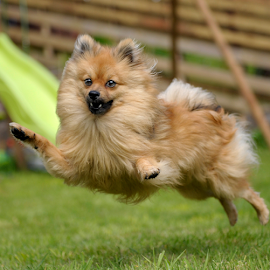 yahoo by Michael  M Sweeney - Animals - Dogs Puppies ( puppy, michael m sweeney, dog, pomeranian )