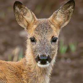 Deer kid by Allan Wallberg - Animals Other Mammals ( roe deer, kiddy, capreolus capreolus, kiddie, portrait, deer )