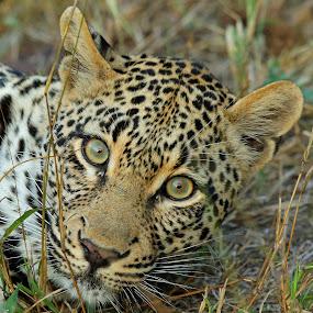 Ximpalapala female! by Anthony Goldman - Animals Lions, Tigers & Big Cats ( wild, predator, big car, londolozi, africa, leopard,  )