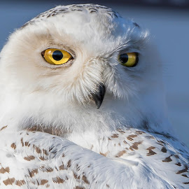 Snowy Owl by Robert George - Animals Birds