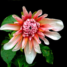 Beauty in Dahlia by Asif Bora - Instagram & Mobile Other