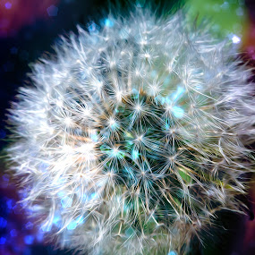 Magic Dandy by Bill Tiepelman - Nature Up Close Other plants ( abstract, weed, florets, white, fine art, bokeh, lights, magic, asteraceae, dandelion, nature, magical, puffy, taraxacum, garden,  )