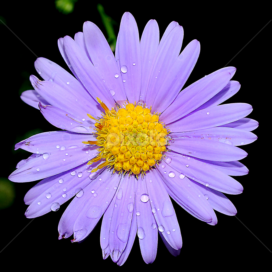 Aster sur fond noir by Gérard CHATENET - Flowers Single Flower