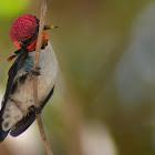 Zunzuncito  Bee Hummingbird