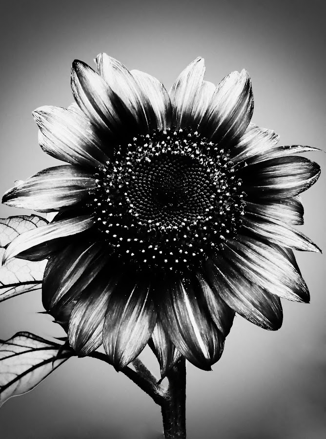 Holga sunflower by Delia Galhotra - Nature Up Close Other plants ( plant, digiphotography, nature, petals, white, sunflower, leaves, garden, black )