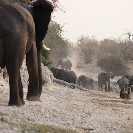 down by the river by Andy Dow - Animals Other Mammals ( chobe, sunset, elephant, africa, waterhole )