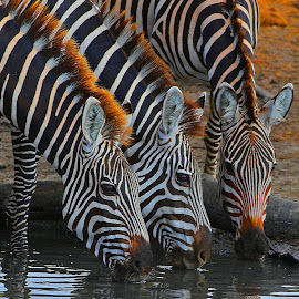 A Zebra Trio! by Anthony Goldman - Animals Other Mammals ( zebra, tanzania, trio, mammal, nature, burchellswater, east africa, drink, wildlife,  )