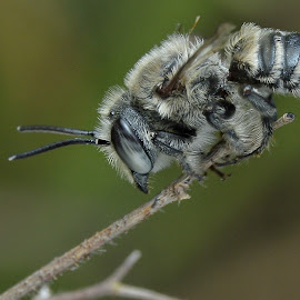 Bee.. by Mayu Ku - Animals Insects & Spiders