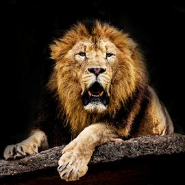 Lion by Kusal Gautamadasa - Animals Lions, Tigers & Big Cats ( lion, cat )