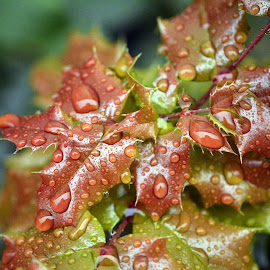 Water Drops on Holly by Michael Hurley - Nature Up Close Trees & Bushes ( hollyhock, water drops, holly, waterdrop, water droplets )
