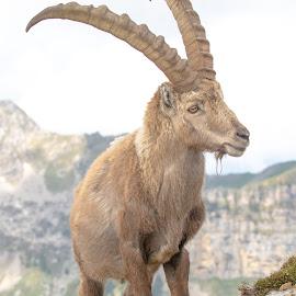 Alp View by Peter Grutter - Animals Other Mammals ( steinbock, mountain, niederhorn, ibis, switzerland, alps )