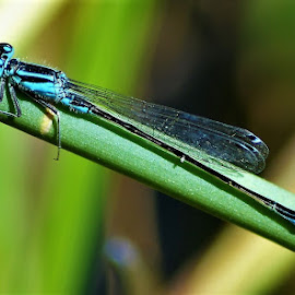 Black and blue dragon-fly by Popa Adrian - Uncategorized All Uncategorized ( macro, nature, dragon-fly, insect,  )