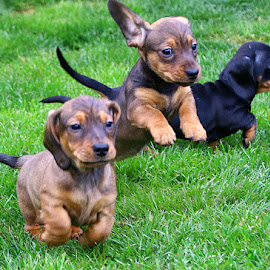 Playful Pups by Chrissie Barrow - Animals - Dogs Puppies ( tails, grass, pup, play, running, cream, red, pet, dachshund (miniature smooth), ears, fur, puppy, legs, dog, tan, black,  )