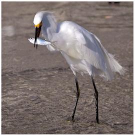 { Snowy Egret with Todays Lunch ~ Treasure Island ~ 6 July }  by Jeffrey Lee - Animals Birds ( { snowy egret with todays lunch ~ treasure island ~ 6 july } )