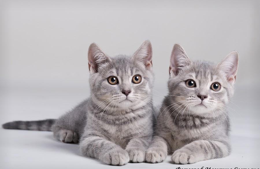 sweet Couple by Svetlana Mazurina - Animals - Cats Portraits ( studio, photographer svetlana mazurina, kittens, british fold, brother and sister )