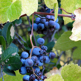 Wild Grapes by Christine B. - Nature Up Close Gardens & Produce ( wild, vines, grapes, california, coloma )