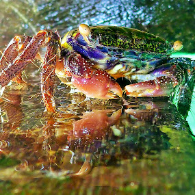 Mr Crab by Alvin Lee Hahuly - Animals Other