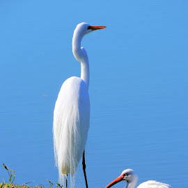 The egret and the ibis by Mary Gallo - Animals Birds ( shore birds, nature, ibis, wildlife, white birds, birds, great egret, animal,  )