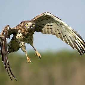 Hunt for Snake by Jineesh Mallishery - Animals Birds ( shot-toed snake eagle, jineesh, wildlife )