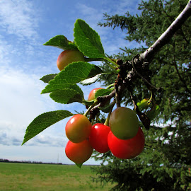 Ripe for the Picking by Linda Doerr - Nature Up Close Gardens & Produce ( cherry tree, fruit, blue sky, red, tree, cherries, produce )