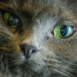 Cat Eyes by Myra Brizendine Wilson - Animals - Cats Portraits ( cats, green cat eyes, cat, cat eyes green, nikki, cat eyes, green, pet, pets, green eyes, feline,  )