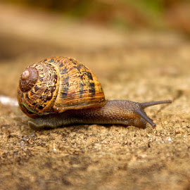Snails Pace by Simon Llewellyn - Animals Other ( shell, snail )