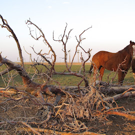 Resting horses in a Lubbock farm by Arunabha Biswas - Animals Horses ( farm, horses, sunset )