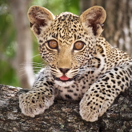 Leopard Cub with Amber Eyes by Sean & Richard Photography - Animals Lions, Tigers & Big Cats ( big cat, big cats, leopard cub, wildlife, cubs, kruger, africa, cub, leopard )