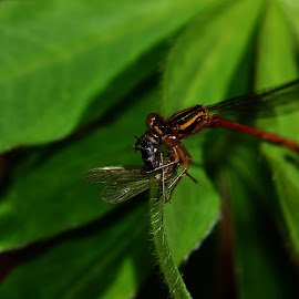Damselfly with prey by Yani Dubin - Animals Insects & Spiders
