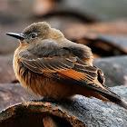 Gibão-de-couro (Cliff Flycatcher)